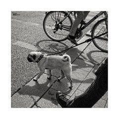 (ángel mateo) Tags: ángelmartínmateo ángelmateo múnich munich manchen alemania pasos sombra bicicleta perro paseo germany steps bike ride shadow dog blackandwhite blancoynegro fotocuadrada square photo pasosanónimos fotourbana monocromo monochrome