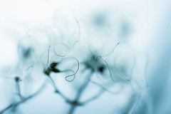 mysterious (torivonglory) Tags: blue winter white plant macro mystery cool urlaub pflanze mysterious blau makro mrz karneval februar sauerland 2014 weis mysteris marsberg canon400d