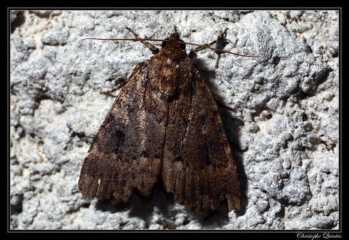Noctuelle berbère (Amphipyra berbera)