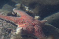 IMG_7983 (armadil) Tags: beach starfish beaches lowtide tidepools tidepool mavericks californiabeaches sickstarfish