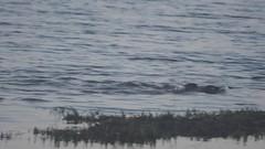 Otter Family (Peet Carr) Tags: otter rspb carnivora mustelidae lutralutra lutra lutrinae europeanotter rspbminsmere