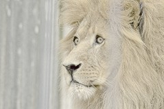Allwetterzoo Mnster (Gnter Hentschel) Tags: germany deutschland zoo tiere nikon europa tiger lion leopard alemania rasputin allemagne mnster esel germania tier schlange zhne bren lwe allwetterzoo elefanten nikond3200 ftterung allwetterzoomnster d40 d3200 nikond40