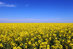Canola (Stefan Machita) Tags: flowers camp brown verde green nature ecology beautiful beauty field yellow canon photography fotografie view earth air natura clean romania aer agriculture canola maro agricultura flori ecologie galben rapita frumos pamant frumusete priveliste 700d curat