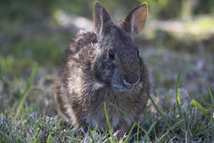 (DFChurch) Tags: wild rabbit nature animal florida bokeh wildlife fortmyers lakespark explored