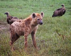 Hyena and Vultures (little_duckie) Tags: africa elephant zebra giraffe hippopotamus hyena zambia bigfive southluangwa southluangwanationalpark