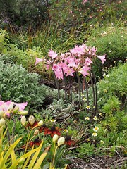 M3183101s (Maurice Grout) Tags: flowers newzealand northisland napier hawkesbay pinkflowers amaryllisbelladonna nakedladies