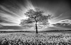 Fields of Light (Matthew Bickham) Tags: green seed oil perry