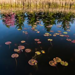 Water Lilies & Red Bud (JeffHBurns) Tags: unitedstates indiana waterlilies carmel redbud