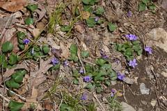 P1220023 (WhatsAllThisThen) Tags: flower nature purple hiking violet bearmountain wildflower