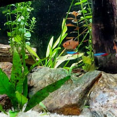 aquarium #plantedtank #redminortetra #neontetra #flyingfox #denisonbarbs... (Juliette_Adams) Tags: aquarium flyingfox plantedtank neontetra freshwateraquarium redminortetra roselineshark uploaded:by=flickstagram instagram:photo=113770968871243718246253686 denisonbarbs aquariumsofinstagram