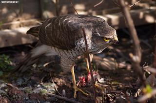 Sparrowhak\