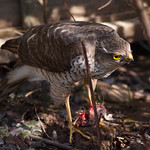 This sparrowhawk came into the garden to dine on some poor little sparrow. It let me get really close to take some photos while it was busy enjoying its meal.\