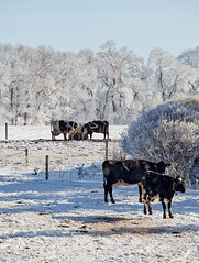 Cows (Zack Mensinger) Tags: winter minnesota eos midwest frost hoarfrost 2016 westernminnesota canon5dmarkii