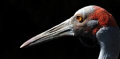 What a beak (Nephentes Phinena) Tags: crane kranich vogelparkwalsrode nikond300s