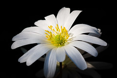 wood anemone (MR@tter) Tags: flowers flower macro natur blumen anemone buschwindrschen canonef100mmf28macrousm canonef100mm