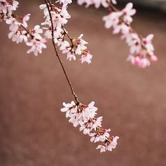 Hanami 2016: Sakura (Jon-F, themachine) Tags: flowers plants plant flower nature japan asian outdoors flora asia olympus  cherryblossom  sakura cherryblossoms nippon japo oriental  orient  fareast  aichi nihon hanami  omd   chubu japn    2016 m43  mft   mirrorless  chuubu   micro43 microfourthirds  ft xapn jonfu  mirrorlesscamera   em5ii em5markii