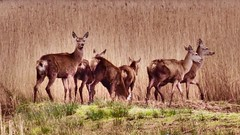 Red Deer at RSPB Leighton Moss - April 2016 (Gidzy) Tags: uk nature reeds wildlife sony lancashire deer raspberry british reddeer biodiversity silverdale reedbed leightonmoss mamals hx10 britishmammals hx50 liverdale