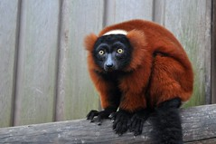 Curious Monkey (laurahilhorst) Tags: city wild nature amsterdam animals fur zoo monkey eyes furry wildlife hunting monkeys curious creatures apes artis wildanimals animaleyes wilderniss loveanimals protectanimals