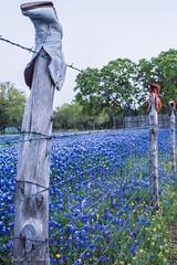 DSC07109 (jbaker6886) Tags: boot bluebonnet barbedwire bluehour wildflower fencepost fenceline willowcityloop