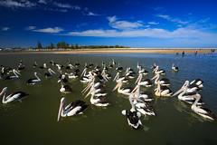 LR-160316-043.jpg (Finert) Tags: theentrance friendlyflickr pelicanfeeding 160316