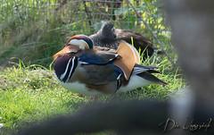 Mittagsschlaf (dieunsoziale) Tags: bad pyrmont tierpark tier vogel mandarinente