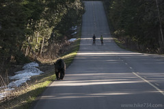 """Black Bear on Going-to-the-Sun Road • <a style=""""font-size:0.8em;"""" href=""""http://www.flickr.com/photos/63501323@N07/26303774120/"""" target=""""_blank"""">View on Flickr</a>"""