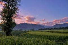 Sunset over Shinkiari, Mansehra (Shehzaad Maroof Khan) Tags: pakistan sunset mountain clouds photography village walk wheat fields greenery grassland dadar mansehra shinkiari