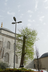 (mollsie) Tags: tree turkey istanbul pollard urbanforestry yenicamii