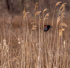 Along The Shores (vernonbone) Tags: birds nikon sigma 500mm eastpoint d3200 april2016