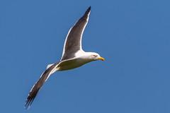 Black backed gull in flight (andymulhearn) Tags: canon gulls somerset burnhamonsea blackbackedgull apexpark flickrbirds eos7d2 sigma150600mmc