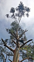 treeclimbing (andrea.maglio) Tags: treeclimbing eucalipto