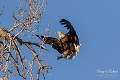 Bald Eagle brings rabbit to its nest - sequence - 9 of 13