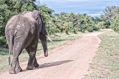 The road to infinity (johannekekroesbergen) Tags: elephant infinite southluangwa flickrfriday