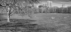 Sheep Meadow Panorama II (Joe Josephs: 2,650,890 views - thank you) Tags: nyc newyorkcity travel spring centralpark manhattan parks naturallight springflowers centralparknewyork springtime urbanlandscapes blackandwhitephotography travelphotography urbanparks outdoorphotography springcolor joejosephs joejosephsphotography