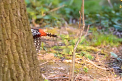 Just too late... (Wessel...) Tags: netherlands canon spring rotterdam woodpecker nederland vogels lente specht kralingen kralingseplas