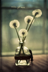 wishes yet made (2) (auntneecey) Tags: photoshop dandelion seeds wishes vase dreamy wishesyetmade