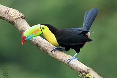 Jump Around (Megan Lorenz) Tags: travel november wild bird nature toucan rainforest costarica december wildlife avian wildanimals keelbilledtoucan 2015 mlorenz meganlorenz