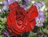 BloodRedHDR (Tony Tooth) Tags: red flower nikon nikkor oxfordshire hdr 105mm bloodred noke d7100
