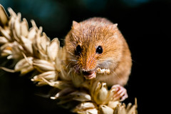 Harvest mouse eating corn (alanrharris53) Tags: mouse rodent corn wheat small harvest mice tiny