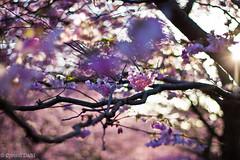 Good Morning Spring (jvind) Tags: flower canon copenhagen 50mm blomster kbenhavn dahl jvind 60d