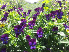 Violas dark purple