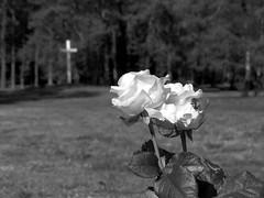 war cemetary loenen (gerben more) Tags: flowers flower graveyard rose landscape blackwhite memorial war cross cemetary bumblebee