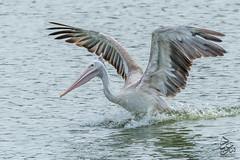 Spot-billed Pelican 2 (Saeed Lajami) Tags: india birds canon wildlife karnataka in bengaluru spotbilledpelican