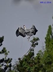 DSC_0081n wb (bwagnerfoto) Tags: vienna wien bird heron grey outdoor ardea vogel cinerea graureiher bcs szrke madr wasserpark gm