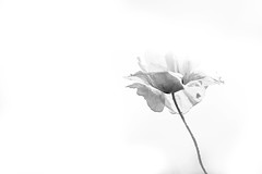 Black on White (Geraint Rowland Photography) Tags: england blackandwhite flower love blancoynegro nature leaves canon petals stem poppy bloom emptyspace inbloom blackandwhiteflowers compositioninphotography adorenoir flowerphotographybygeraintrowland