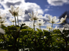 White wild flowers (Pivi ) Tags: flowers wild sun white oslo norway clouds april woodanemone valkovuokko vitveis