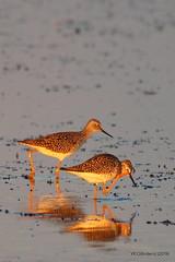 Lesser Yellowlegs - Camera Shy (YEGBirder) Tags: camera shy stalbert shorebird lesseryellowleg