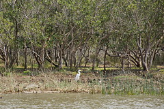 Silberreiher - Great egret (Magdeburg) Tags: africa lake saint st southafrica see alba south great ardea lucia afrika egret stlucia sdafrika greategret silber albus sd ardeaalba reiher egrettaalba egretta casmerodiusalbus casmerodius silberreiher stluciasee saintluciasee saintlucialake