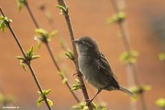 Mus in deForsythia. #Texel #bird #birds #nature #amzing #vogel #natuur #justin #Sinner #pictures #texel #texels #mus #wadden #waddeneiland #holland #holland #dutch #home #canon #piep #sjilp #cute #birdlife (JustinSinner.nl) Tags: pictures justin holland cute bird home nature dutch birds canon wadden waddeneiland natuur mus sinner texel vogel amzing piep birdlife texels deforsythia sjilp