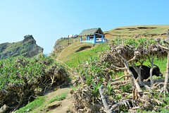 north batan (gms<) Tags: ocean travel trees sky green rural trekking cow rocks hike hills adventure coconuttree batanes naturelovers traveldiary wowphilippines